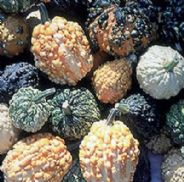 Squash / Gourd - Warted Mix - 20 Seeds - Vegetable